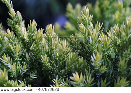 Background Of New Growth Needles On A Juniper Shrub