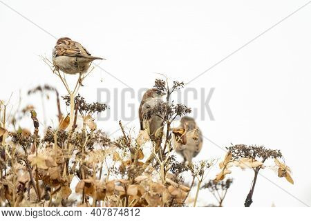Portrait Of Three Sparrows Sitting On An Overblown Hydrangea Branch. Two Blurred Sparrows An One Sha