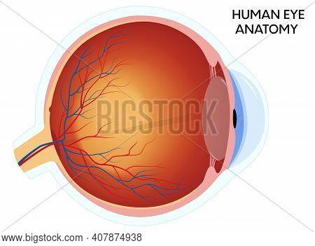 Human Eye Anatomy Diagram, Medical Educational Cross Section Illustration. Isolated On A White Backg
