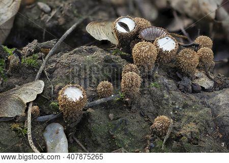 The Fluted Bird Nest (cyathus Striatus) Is An Inedible Mushroom , An Intresting Photo