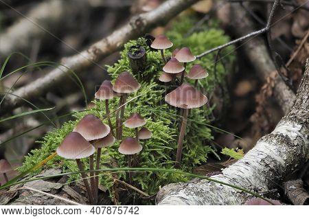 The Burgundydrop Bonnet (mycena Haematopus) Is An Inedible Mushroom , An Intresting Photo