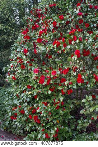 A Green Bush With Lots Of Bright Pink Flowers. Backgrounds And Textures.