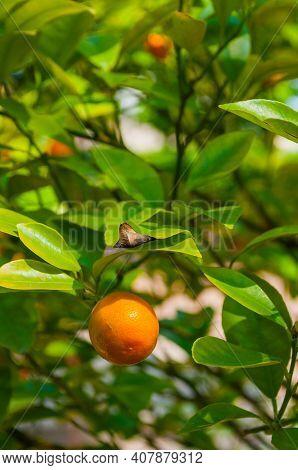 Harvesting concept. Kumquat fruits in summer garden, closeup. Fortunella japonica kumquats at harvesting time, harvesting background
