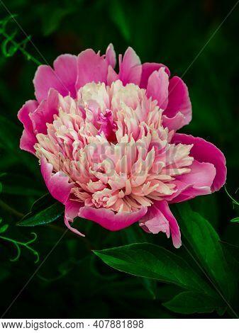 Closeup Pink Peony Flower Vintage Vertical Photo. Flowering Purple Pink Pastel Peony & Leaf Macro In