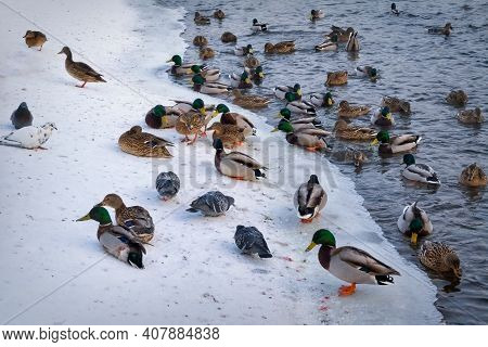 A Flock Of Wild Ducks Wintering On The River In A City Park. Beautiful Sunset Scene. Duck Close Up.