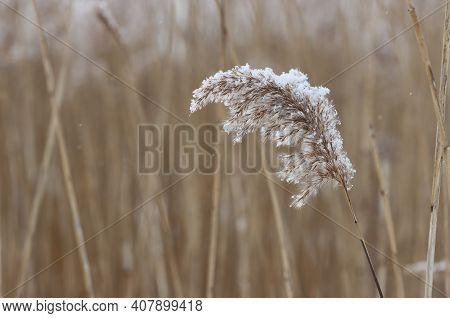 Dried Reed Inflorescence In Winter In Snowflakes.