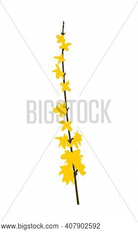 Vector Flowering Forsythia (golden Bell) Twig Isolated On White Background