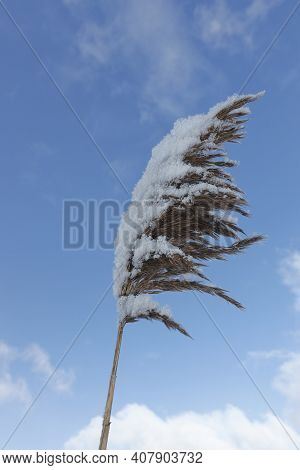 Delicate Reed Bathed In The Light Of A Sunny Winter Day. Decorative Grass Covered By Snow And Moved