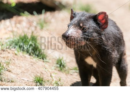 Tasmanian Devil In The Brush Australian Wildlife