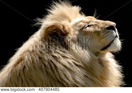 Profile Of A Lion Head Gazing Up Into The Sky
