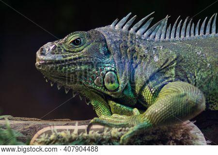 Profile Close Up Of An Iguana Green