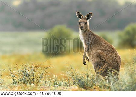Single Kangaroo Curiously Modeling In The Brush
