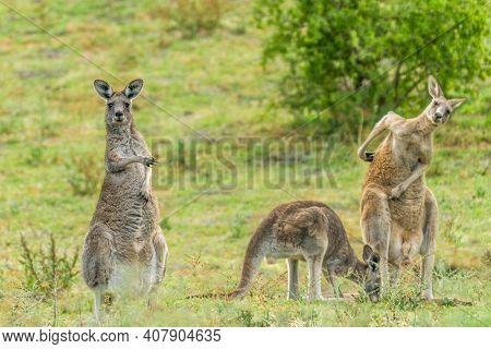 Funny Kangaroo Pointing At His Not So Sharp Buddies