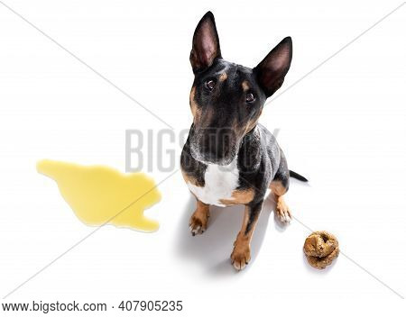 Dog Being Punished For Urinate Or Pee  At Home By His Owner, Isolated On White Background