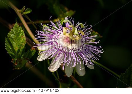 A Purple Passionflower (passiflora Incarnata) With A Dark Background.
