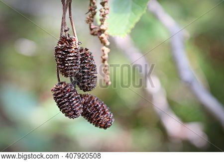 Brown Dried Alder Catkins Hanging From A Branch