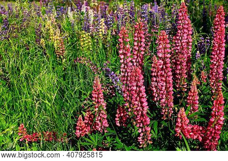 Lupinus Field. Red Lupine Flowers (lupinus Polyphyllus). Field Of Red Lupine Plant. Pink Wild Lupin