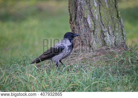 Hooded Crow Stands On The Grass In The Park. Large Tree Trunk On The Background. Big Black Beak And