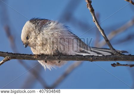 Bird - Long-tailed Tit ( Aegithalos Caudatus ) Sits On A Branch Of A Bush And Eats Beetle Larvae On