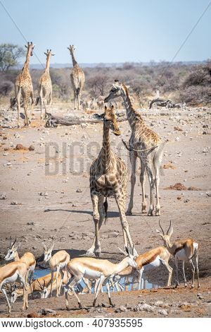 Southern Giraffe And Springbok Congregate At Waterhole