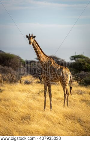 Southern Giraffe Stands Eyeing Camera In Grass
