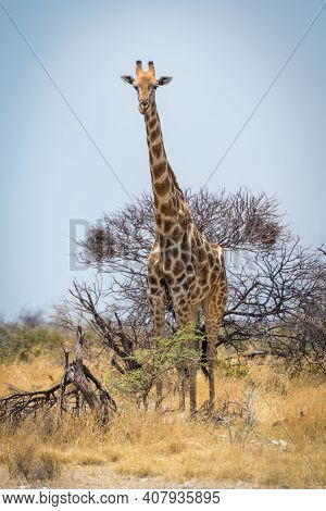Southern Giraffe Stands In Bushes Eyeing Camera