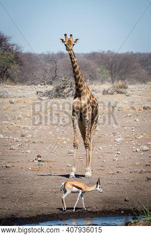 Southern Giraffe Stands Watching Springbok By Waterhole