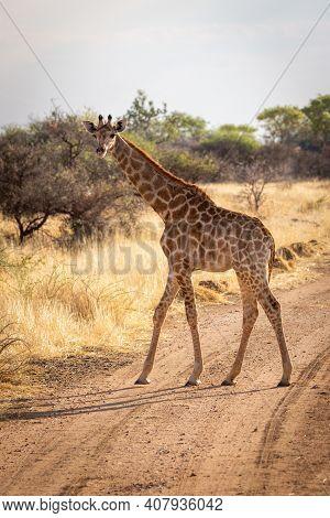 Southern Giraffe Walks Across Track Eyeing Camera