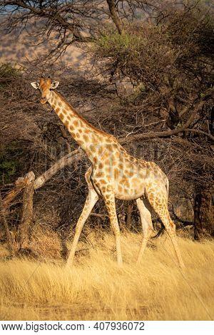 Southern Giraffe Walks Past Trees In Grass