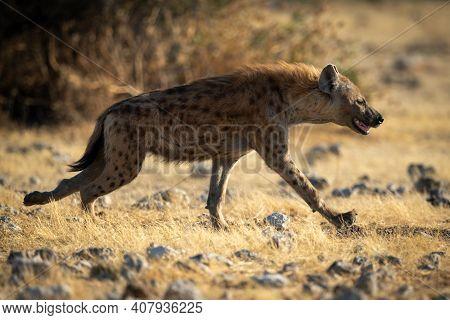 Spotted Hyena Runs Across Savannah In Sun