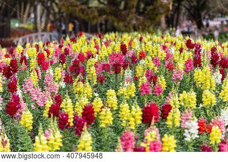 Snapdragon Flower In Spring, Spring Background. Spring Composition, Spring Card, Colorful Spring Bac