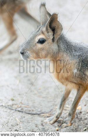Patagonian Mara (dolichotis Patagonum), Large Rodent In The Mara.  Patagonian Cavy, Patagonian Hare