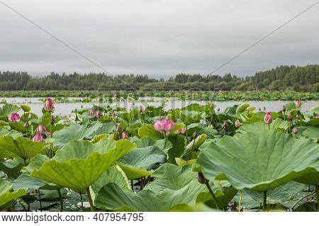 Lake Of Lotuses In The Khabarovsk Territory. The Wonder Of The World Of The Khabarovsk Territory.