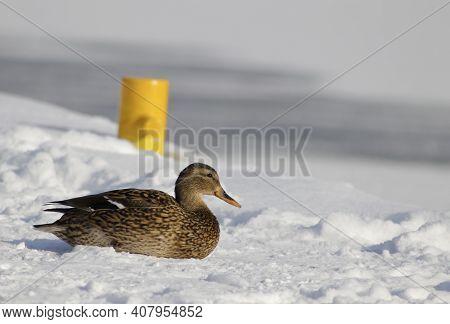 Mallard Duck - Latin Name Anas. Brown Duck Sitting On A Snow-covered Harbor Wharf. Female Of Dabblin