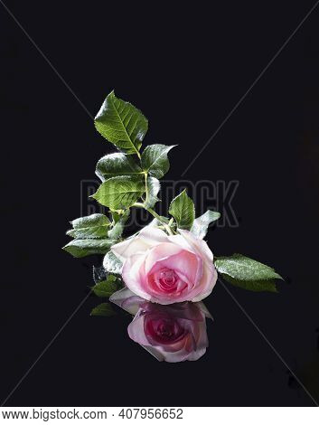 Delicate Pink English Wicker Rose Of Variety Eden On A Black Background With Reflection. Summer Mood