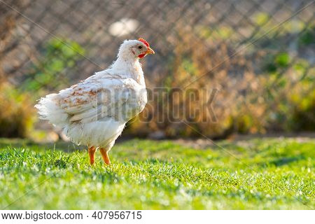 Hen Feed On Traditional Rural Barnyard. Close Up Of Chicken Standing On Barn Yard With Green Grass.