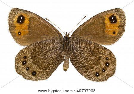 Erebia Melas (negro tirabuzón)