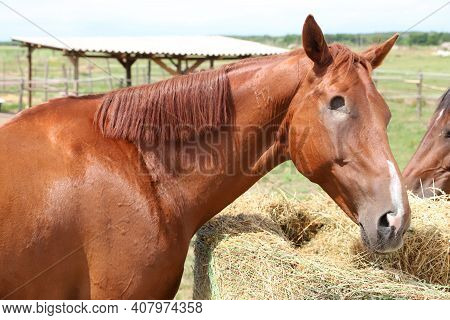 Closeup Of A Brown Colored Blind Racehorse In Summer Corral Outdoors. Head Of Race Horse With Missin