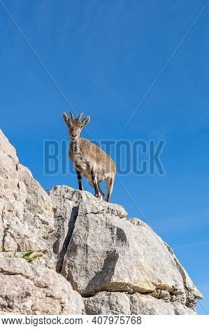 Close Up View Of A Young Iberian Wild Mountain Goat Perched On A High Rocky Promontory Under A Clear