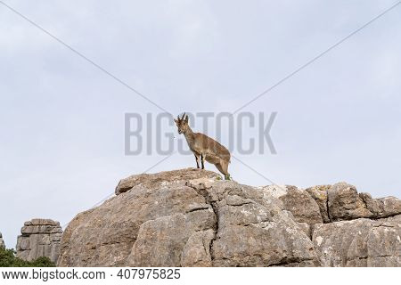 Iberian Wild Mountain Goats In The El Torcal Nature Park In Andalusia