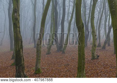 Mystical Dense Fog In The Autumn Forest. Milky Mist Among The Bare Tree Trunks Against The Backgroun