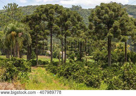Araucaria Trees And Farm Field With Forest Around, Morro Reuter, Rio Grande Do Sul, Brazil