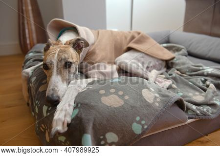 White And Brown Large Pet Greyhound Rests Her Head And Looks At The Camera From Her Dog Bed. Paw Pat