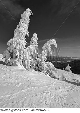 Grayscale. Snow Covered Fir Trees On Snowy Mountain Plateau, Tops With Snow Cornices In Far. Magnifi
