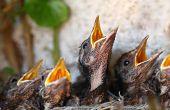 Bird nest with young birds - Eurasian Blackbird poster
