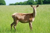 young doe looking straight on in green field in springtime poster