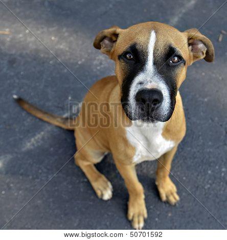 Cute Boxer Puppy