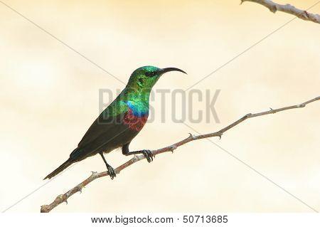 Marico Sunbird - Wild Bird Background from Africa - Green Emerald Shine