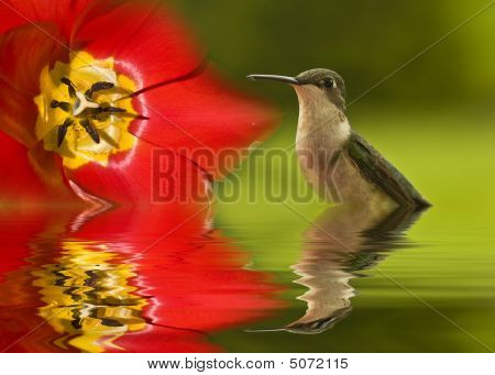 Green hummingbird's reflection in water alongside of tulip poster