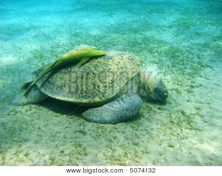Big Sea Turtle And Suckerfishes